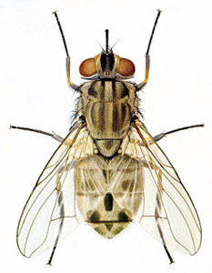 stable fly information page